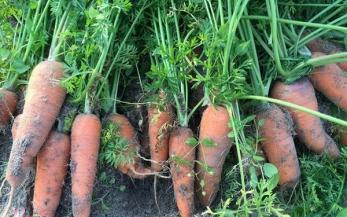 Cách trồng cà rốt hữu cơ